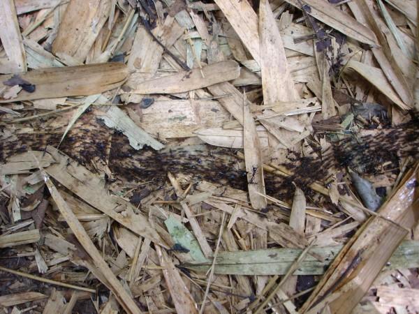 Les fourmis Noires en conquête !