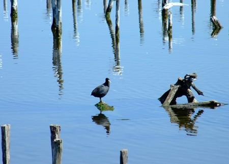 Oiseaux du Teich (1)